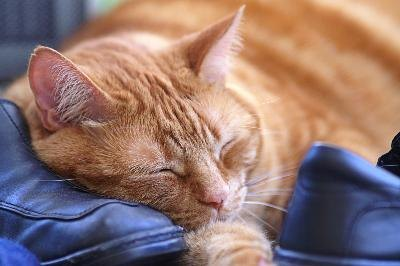Cats infected with feline infectious anemia show many symptoms such as fatigue.