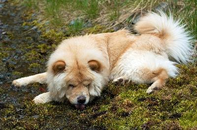 Humans earn the loyalty of a Chow Chow by being firm and consistent in their approach to the dog's behavior.