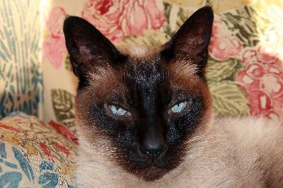 Sealpoint Siamese have dark brown points and a mocha-colored coat.