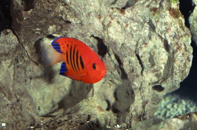 Flame angels can provide aquariums with pleasant bursts of color.