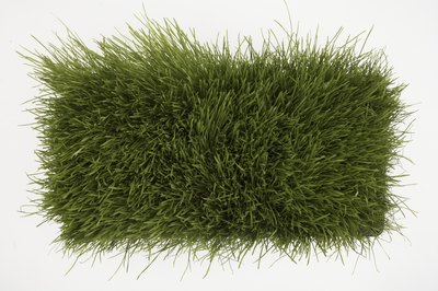 Wheat grass needs to be juiced or ground in order to be properly digested.