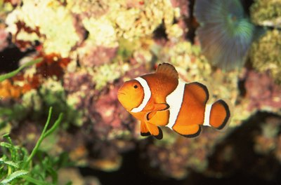 Some small species of clownfish can live in nano aquariums.