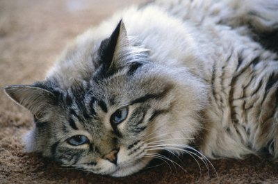 Lethargy is a symptom of anemia in cats.