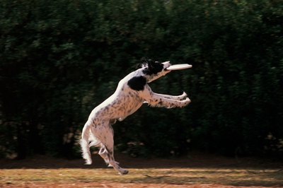 "A ""hyper"" dog might be the perfect candidate for a Frisbee contest."