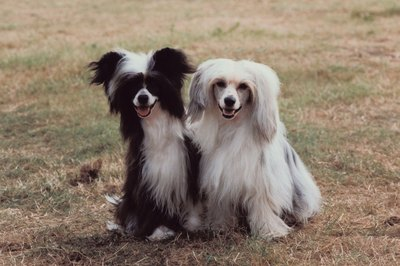 Chinese crested are usually hairless, but powderpuff cresteds are needed for breeding programs.