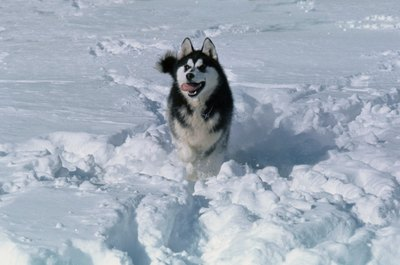Enjoying snow is helpful for a dog living in Alaska.