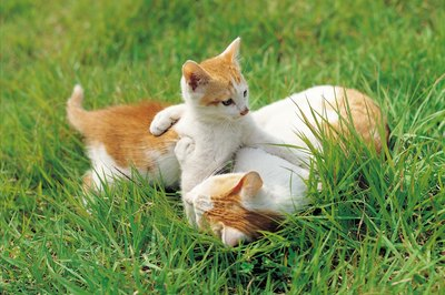 Two kitties will likely practice hunting with each other.