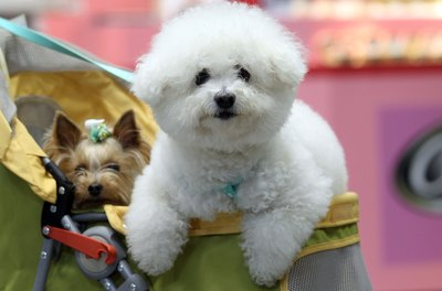 Bichons have powder puff coats that require daily grooming.