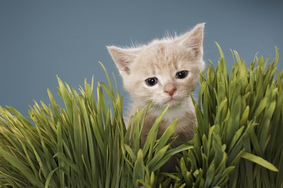 Like many animals, cats enjoy munching on grass.