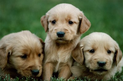 Golden puppies begin getting adult hair around 3 months of age.