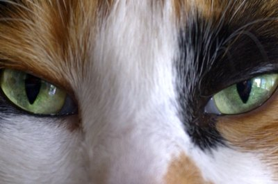Cats have large eyes for their size and possess excellent binocular vision.