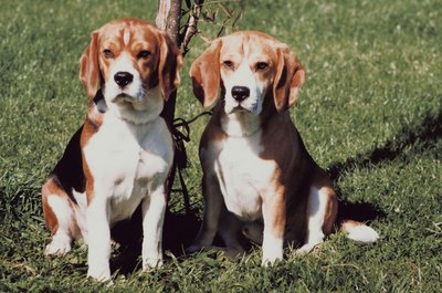 Beagles are generally not aggressive dogs so you may have a problem if yours are fighting regularly.