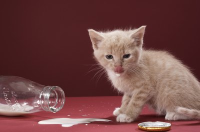 Cow's milk often causes tummy trouble in kitties.