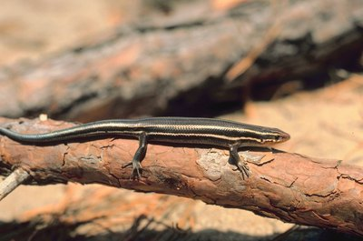 A five-lined skink doesn't always have a blue tail.