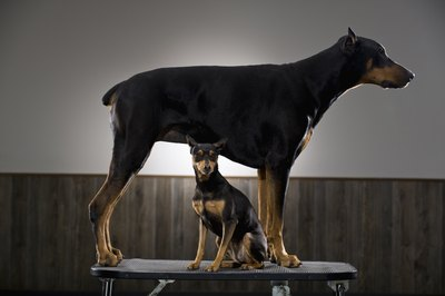 Size matters when it comes to the ability to lean against other dogs.