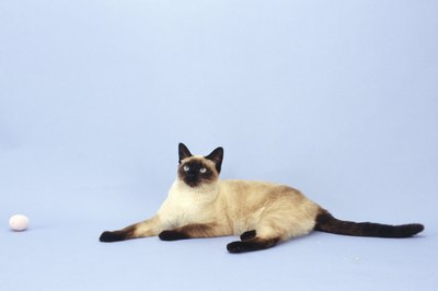 The seal point is one recognized coloration of colorpointed cats.