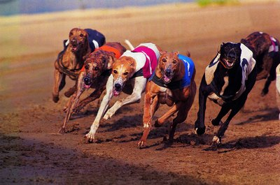 Greyhounds love to run, but running too hard could cause exertional rhabdomyolysis.