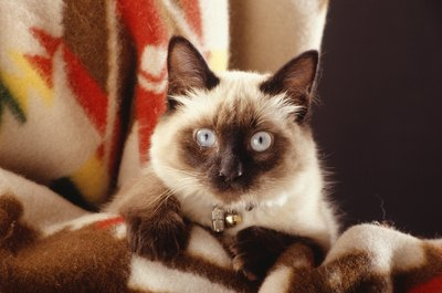 Balinese and Javanese cats are long-haired descendants of the Siamese.