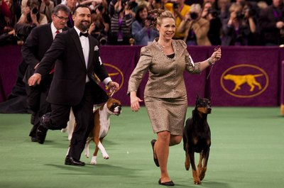 The Doberman pinscher is a versatile and agile dog.