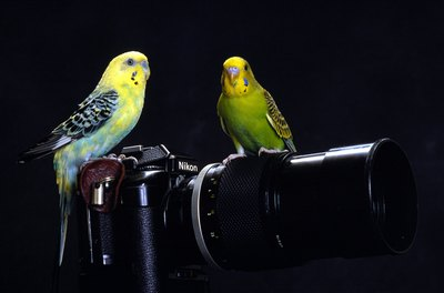 Parakeets will perch anywhere they feel comfortable.