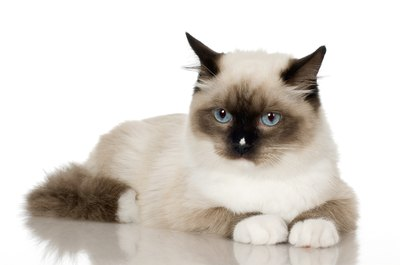 Siamese cats are believed to be more prone to pancreatic attacks.