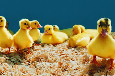Ducklings can eat chick food for the first few weeks of life.