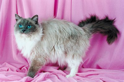Bright blue eyes are a ragdoll trait.