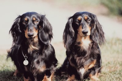 Miniature Long-Haired Dacshunds are bound to catch the eye of many admirers.