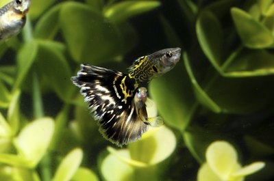 Follow these tips to ensure your guppies thrive.