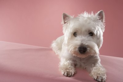 A shorter cut for your Westie means you'll have to do less brushing and bathing.