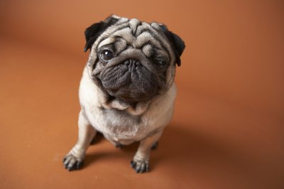 Obesity and diabetes are risks for pugs.