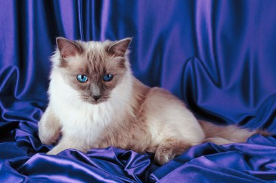 Ragdoll cats are known for their vivid blue peepers.