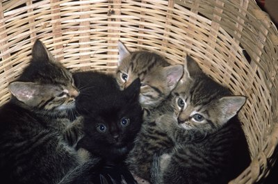 Orphaned kittens are typically accepted into foster litters.