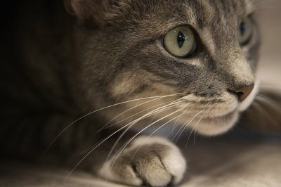 A cat's vibrissae -- or whiskers -- can detect the slightest movement of air.