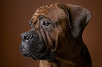 Boxers puppies can grow up to be smart, energetic pets.
