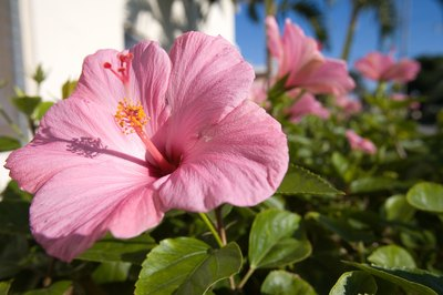 Keep hibiscus blossoms out of your cat's view and reach.