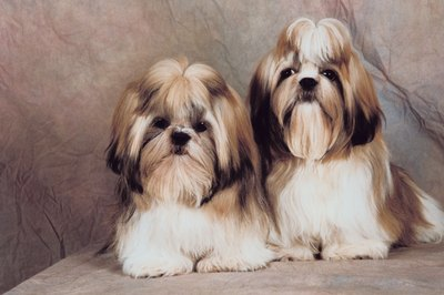 With a little extra tender loving care, you can enjoy your shih tzu yet experience minimal allergy suffering.
