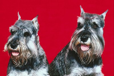Because of their hairy insides, a schnauzer's ears are prone to infection.