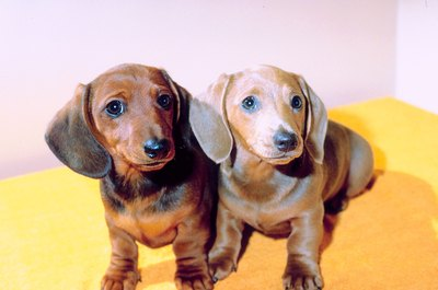Don't let the cute faces fool you, miniature dachshunds are courageous and loyal.
