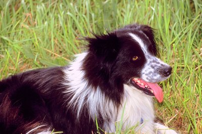 Border collies are not inherently aggressive, but they are protective.