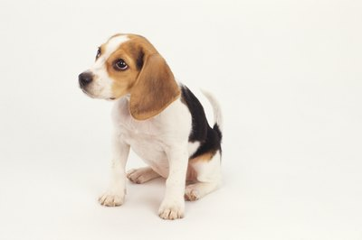 A beagle puppy may start howling in the litter.