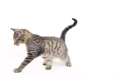 Keep your cat trim to reduce the risk of fatty liver disease