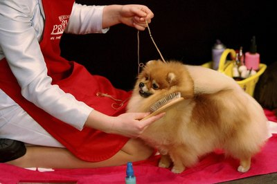 Pomeranian dogs need a strong leader.