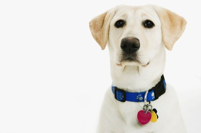 Dysplasia, arthritis and cancer can affect Labrador retrievers.