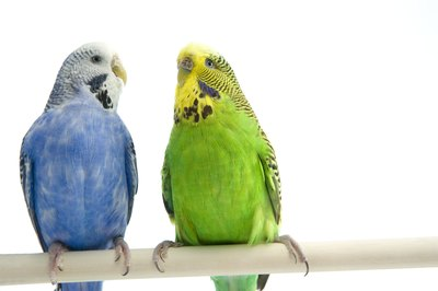 Parakeets enjoy lots of company.