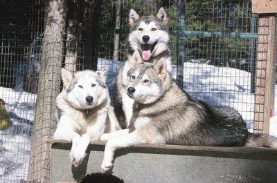 Three Siberian huskies display healthy coats.