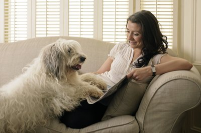A Labradoodle is friendly and enjoys companionship.