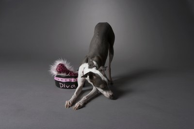 Even spoiled diva dogs need flea prevention and removal.