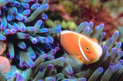 Reef aquariums feature both fish and invertebrates.