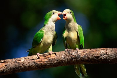 Quaker parrots love chatting.